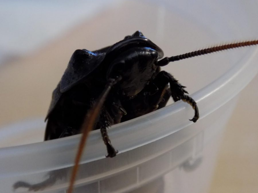 Nature Talk: Cockroaches as pets?