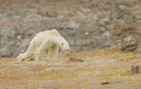 """The Starving Polar Bear""— unfortunate, striking symbol of climate change (opinion)"