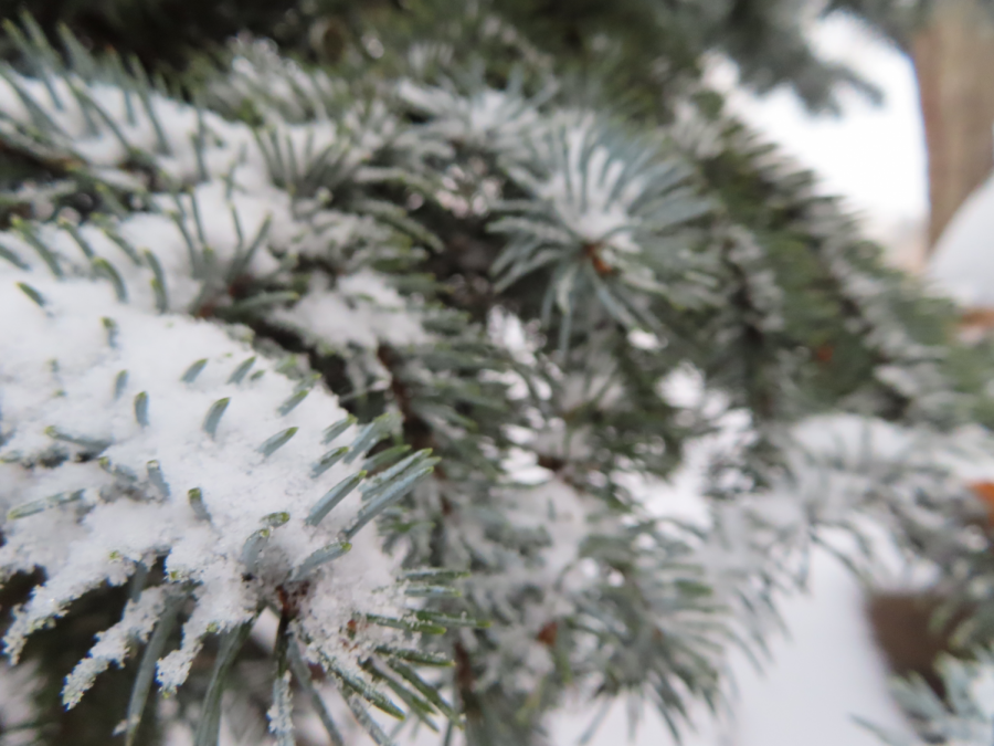 Pine tree snowing Christmas 2