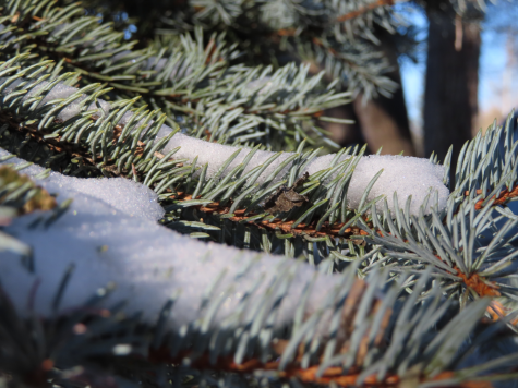 The December 11 dusting of snow blankets the pine trees.