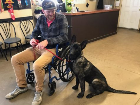 Deisel the Dutch Shepard is getting trained for a mobility service of walking along side a wheel chair at Colorado Dog Academy.